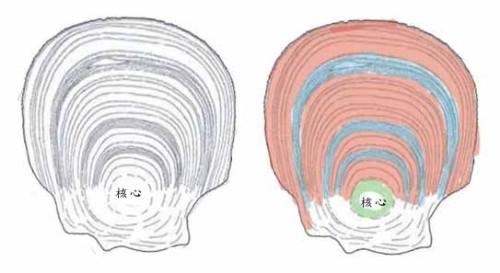 图1:鱼类鳞片上的年轮。右图用红色表示夏轮,蓝色表示冬轮,核心是一出生就有的。