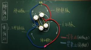 图2  教学任务完成后师生共同建构的血液循环途经途径模型
