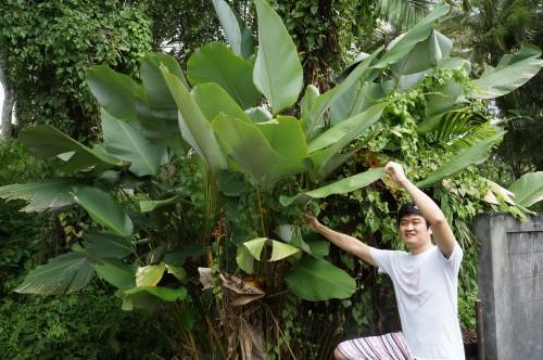 热带植物的巨型叶片